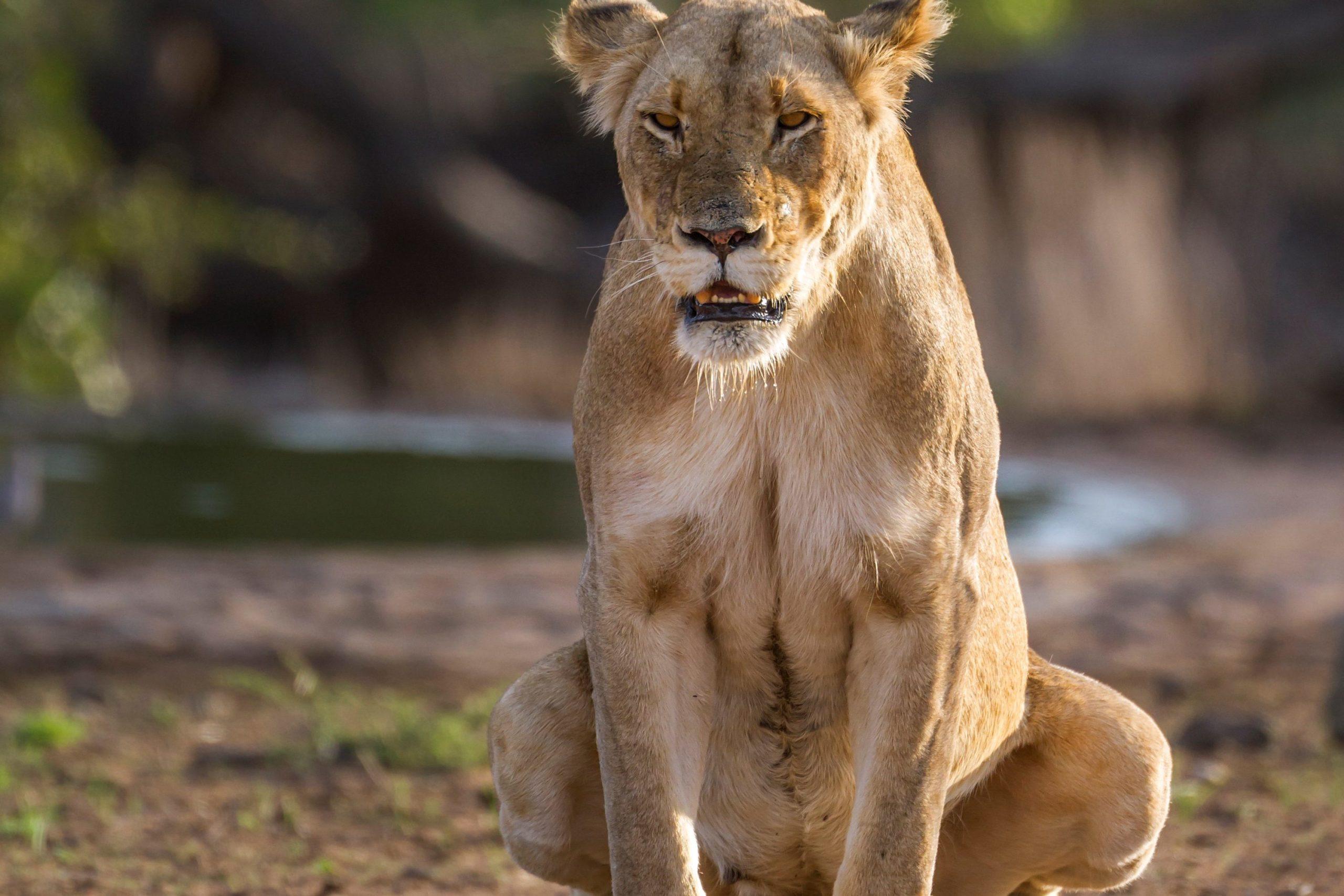 トイレ中のライオン